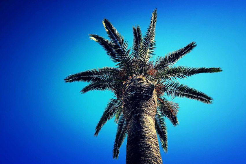 Grecka palma