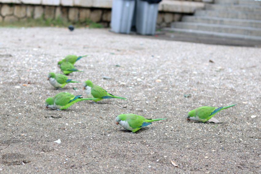 Papugi żyjące jak gołębie