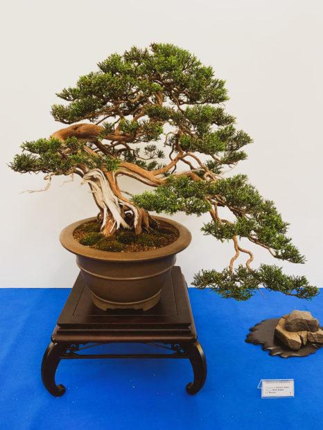 wystawa bonsai w książu
